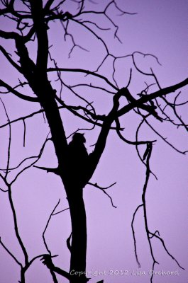Langur at dawn