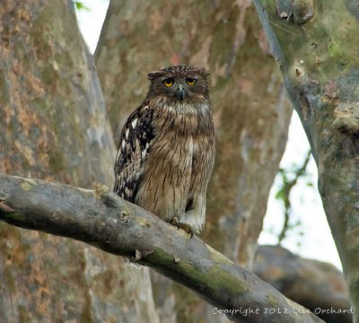 Brown Fish Owl waiting for dark