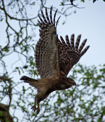 Brown Fish Owl takes off at dusk