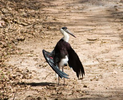 Wonderful displaying Wooly Necked Stork