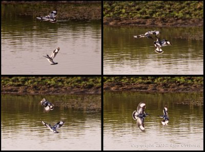 Pied Kingsfisher Acrobats!