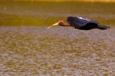 Black Ibis coming in to land!