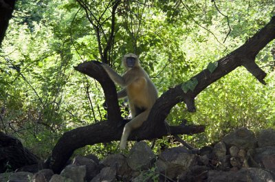 Footless Langur in Champaner
