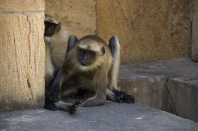Handless Langur at step well - what's up with Gujarat's Langurs?
