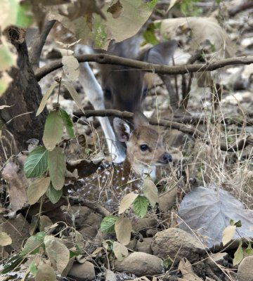 Smallest chital fawn I think I've seen.  Immediately hid in the brush when we arrived, as mum anxiously poked her head to look at us.