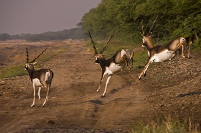 7Blackbuck1