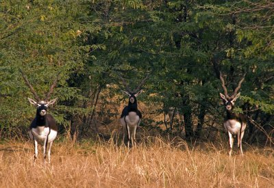 7Blackbuck2