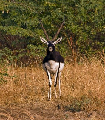 7Blackbuck3.jpg