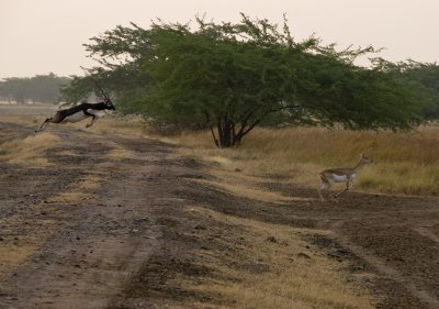 7Blackbuck5.jpg
