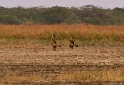 Pallid Harrier pair coming in to roost for the night.