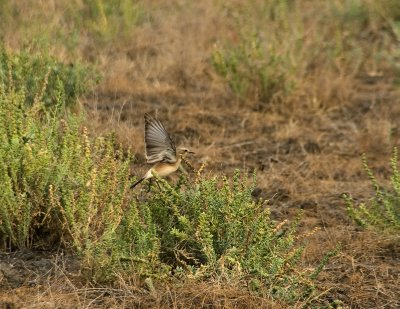 Lovely bushchat posing on the succulent plant that provides the main nourishment and water for the wildass.