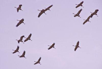 Noisy Demoiselle cranes heading to the marshlands