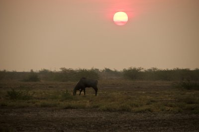 Nilgai in the desert sunset