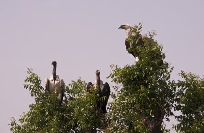 Three different vulture species sitting in a tree... k.i.s.s.i.n.g....