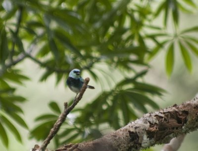Tanager; we saw many species of tanagers