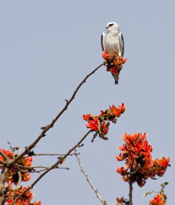 Black-shouldered Kite on a Flame of the Forest tree