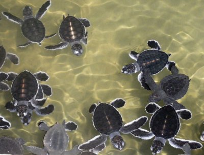 Bentota_turtle.jpg