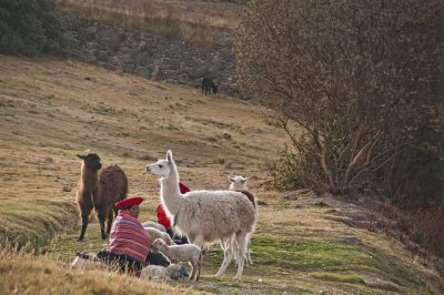 Alpacas and Llamas with Quechua woman