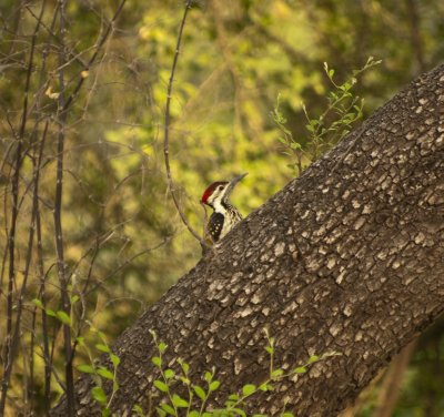 Flameback Woodpecker