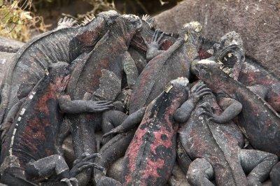 Marine Iguana Orgy