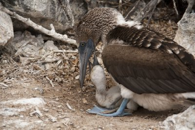 Blue Footed Boobie and baby