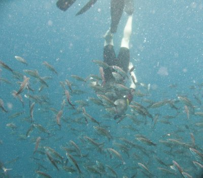 Ian diving down through a school of salema fish
