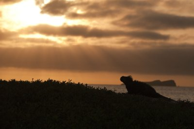 Marine Iguana at sunset
