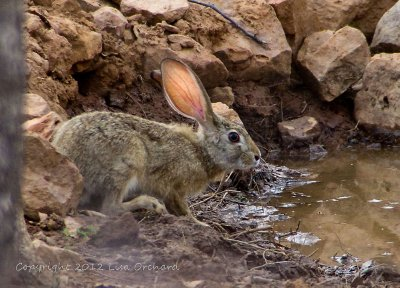 Thirsty Indian Hare