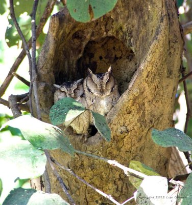 Oriental Scops Owls, resting for the day.