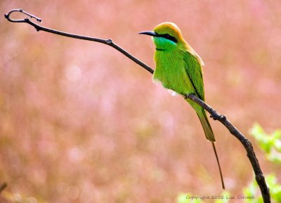 Green Bee-eater sunbathing