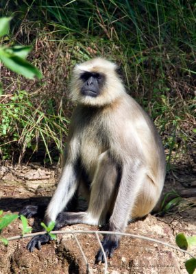 The head langur of the troop that jumped around on our cottage rooms
