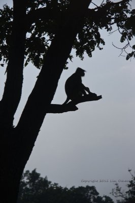 Hanuman Langur waiting for nightfall