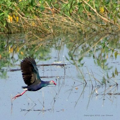 Purple Swamphen as we were leaving on our final day.