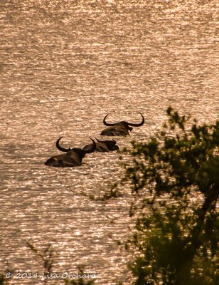 Wild buffalo heading across the river as the sun sets