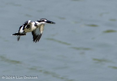 Pied Kingfisher catches the evening's appetizer