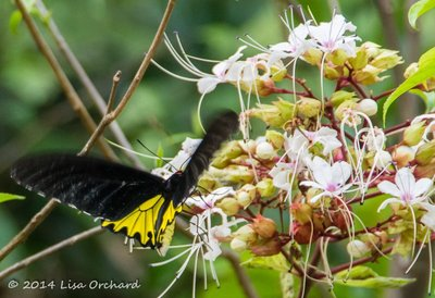 The beautiful and huge Common Birdwing (or black and yellow birdwing)