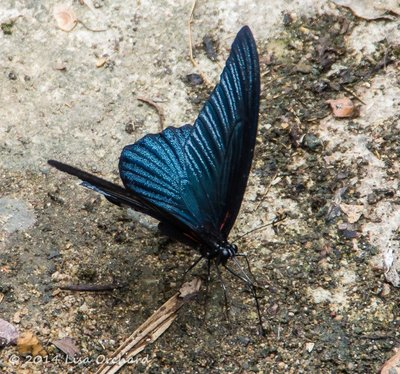 Another winged lovely in the forest