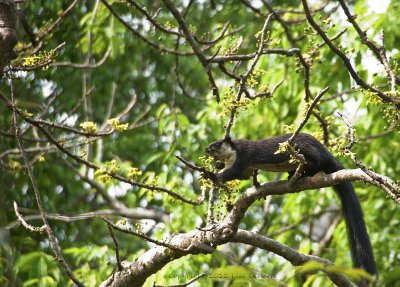 Malayan or Black Giant Squirrel is listed as Near-threatened, due mostly to hunting for food - slightly smaller, and not as red a coat as the Malabar Giant Squirrel.