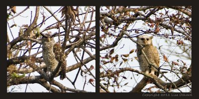 Jeuvenile (right) and adult spot-bellied eagle owl. Very far off in the trees.