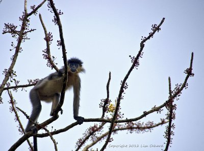 The Capped Langur checking out what we were up to - a first sighting for me, in a trip of new primates.