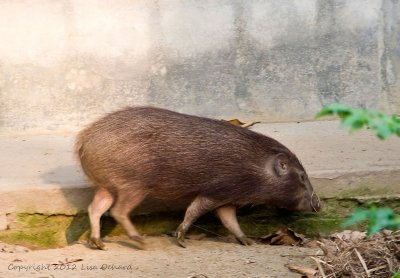 Pigmy Hog, an endangered small wild pig, in the conservation centre in Nameri