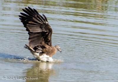 Fish Eagle Miss!  Doh!!