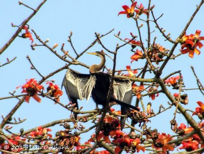 Indian Darter or Snakebird, sunning among the Silk Cotton Tree flowers