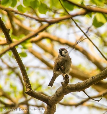 Eurasion Tree Sparrow by the river
