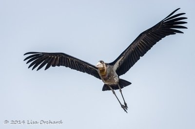 Greater Adjutant Stork coming for us!