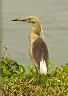 Indian Pond Heron in breeding plumage
