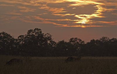 Gaur at sunset