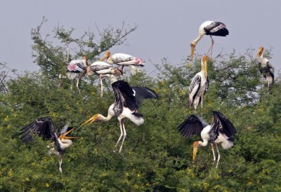 Painted Storks greeting each other