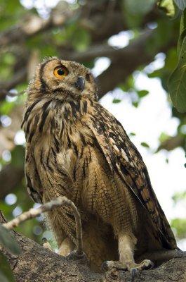Eurasion Eagle Owl fledgling