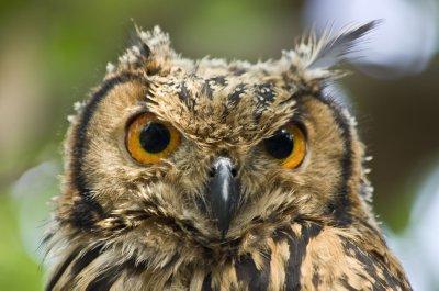 Fledgling Eurasion Eagle Owl